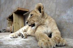 Lion Cub Closeup Fotografie Stock Libere da Diritti