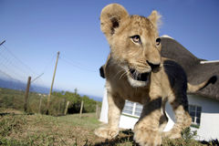 Lion Cub Closeup Royalty Free Stock Image