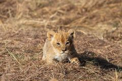 Lion cub closeup, Masai Mara Reserve. Lion cubs playing together, Masai Mara Reserve, Kenya stock image