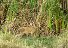 Lion cub coming out of bushes, Masai Mara Stock Photo