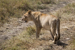 Lion cub crossing road Royalty Free Stock Photography