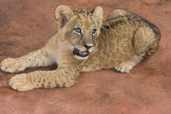 Lion cub. Crouches on ground Stock Images