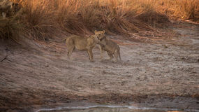 Lion Cub. S playing on the side of a dam. Learning and sharpening their skills Royalty Free Stock Photo
