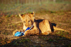 Lion cub cuddling in nature and plaing with toy. royalty free stock photos
