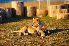 Lion cub cuddling in nature and plaing with toy Royalty Free Stock Image