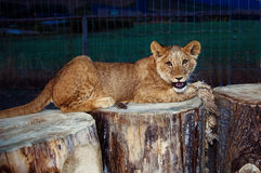 Lion cub cuddling in nature and plaing with toy Stock Images