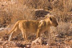 Lion Cub dans le désert de Kalahari photographie stock