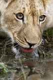 Lion cub drinking Stock Photography