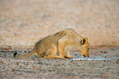 Lion cub drinking water Stock Image