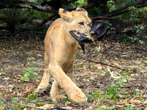 Lion cub eating a bat Royalty Free Stock Images