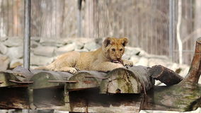 Lion cub eats stock video footage