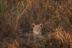 Lion Cub en Zambie photos libres de droits