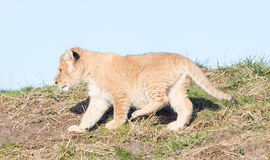 Lion cub exploring it`s surroundings Royalty Free Stock Photography