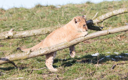 Lion cub exploring it`s surroundings Stock Image