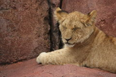 Lion Cub With Eyes Closed. Cute cuddly lion cub sitting on a rock closing his eyes Royalty Free Stock Image