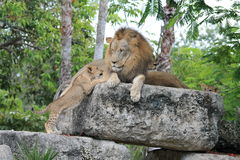 Lion and cub Stock Image
