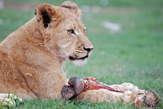 Lion Cub Feeding royalty free stock photo