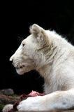 Lion Cub Feeding bianco Immagine Stock Libera da Diritti