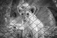 Lion cub. Beside fence in natural park Stock Photography