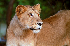 Lion Cub at the Gir Forest National Park Royalty Free Stock Images
