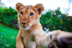 Lion cub giving a paw Royalty Free Stock Photography