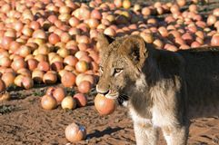 Lion cub and Grapefruit Stock Images
