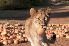 Lion cub and Grapefruit Royalty Free Stock Photography