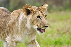 Lion cub on grass. Lion cub with open mouth on grass Stock Photos