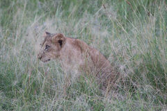 Lion cub in the grass. Lion cub hiding in the tall grasses in the Serengeti, Tanzania, Africa Stock Image