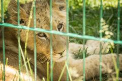 Lion cub in grass Royalty Free Stock Photos
