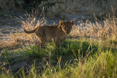 Lion cub in grass staring at camera Royalty Free Stock Photos