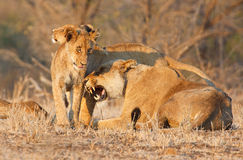 Lion cub greats another pride member Stock Photography