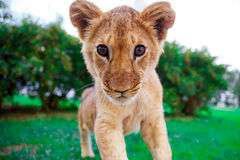 Lion cub in green sunny savanna Royalty Free Stock Images
