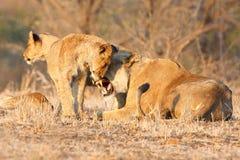 Lion cub greeting Stock Image