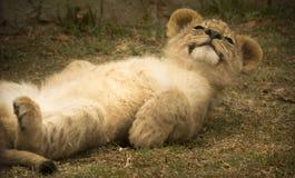 Lion cub on ground Stock Photo