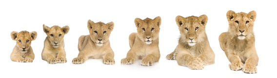 Lion cub growing from 3 to 9 months in front of a Royalty Free Stock Images