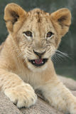 Lion Cub Growling. Lion cub sitting in the sun growling stock photography