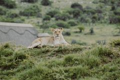 Lion cub on the hill laying on the ground and looking at the camera stock images
