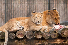 Lion cub and his mother stock image