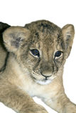 Lion cub, isolated white Royalty Free Stock Photo