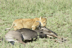 Lion cub  with a just caught wildebeest Royalty Free Stock Photos