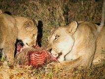 Lion with cub and kill. This lion and cub were spotted in the light of a searchlight during a nightly game drive in Kafue National Park eating their kill Royalty Free Stock Photography