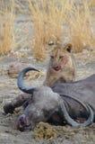 Lion cub with a kill Stock Photos