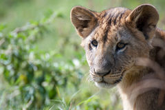 Lion Cub in Lake Nakuru Royalty Free Stock Images