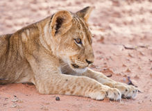 Lion cub lay on brown sand Royalty Free Stock Images