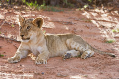 Lion cub lay on brown sand Royalty Free Stock Image