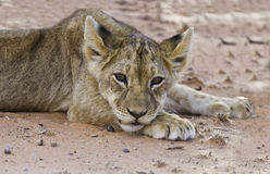Lion cub lay on sand Stock Images