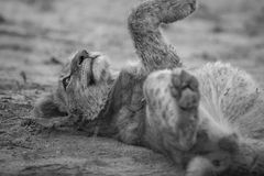 Lion cub laying in the dirt in black and white. Lion cub laying in the dirt in black and white in the Sabi Sabi game reserve, South Africa royalty free stock photography