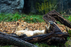 Lion cub laying down Royalty Free Stock Photos