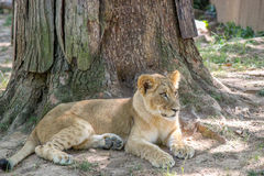 Lion Cub Laying Down in the Grass Stock Photo